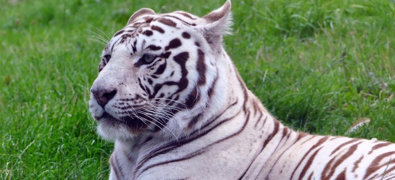 The Story of the White Tiger Mohini: About Mental and Emotional Cages